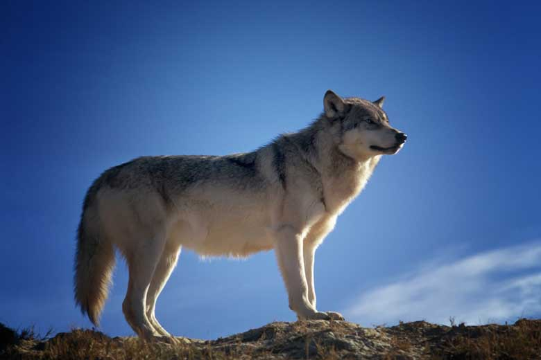 Wolf In The Blue Sky