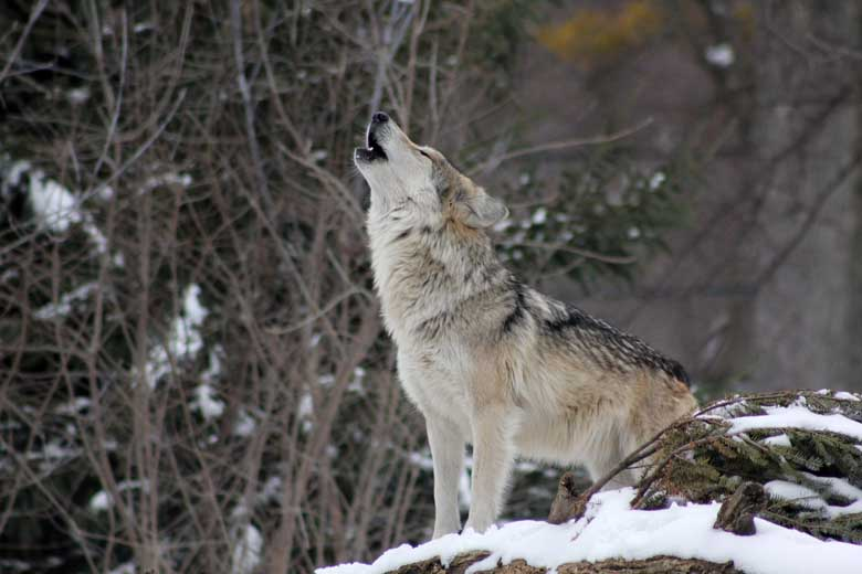 Howling Wolf In Snow